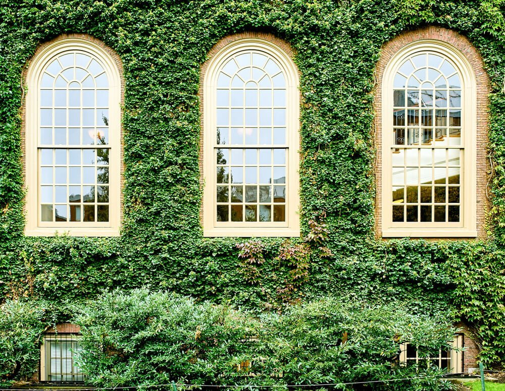 Ivy covering a brick wall with three windows